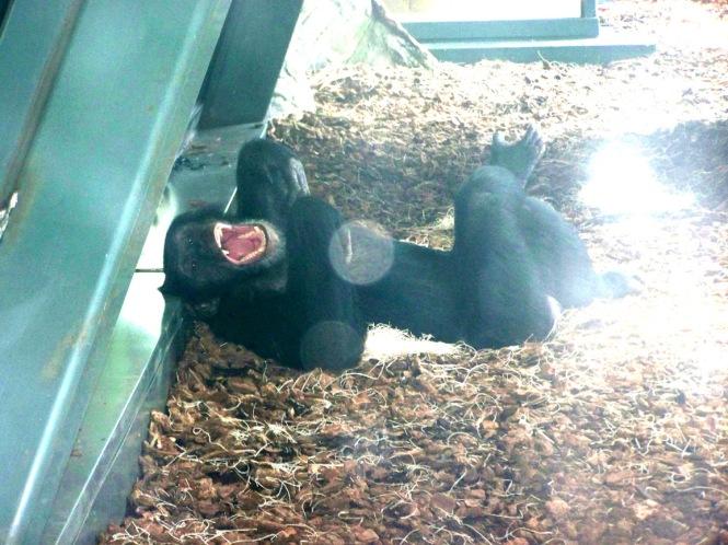 Gorilla Call
