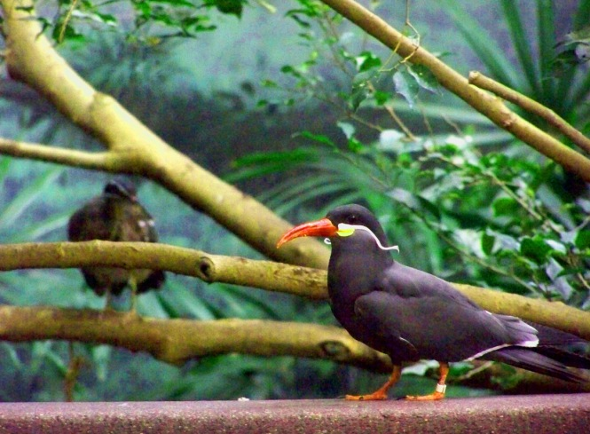Inca Tern Foreground