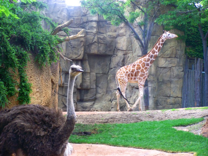 Ostrich and Giraffe
