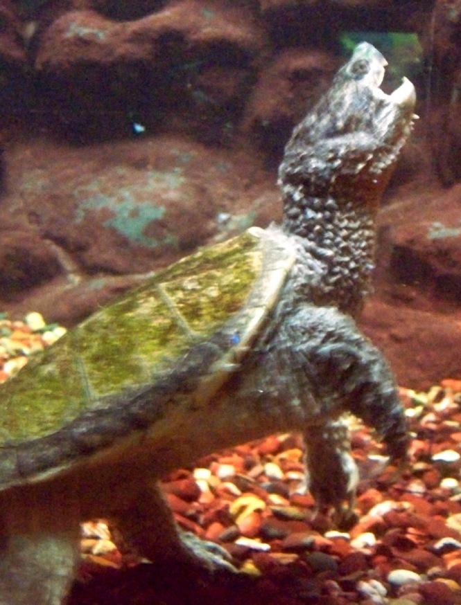 Turtle Nom