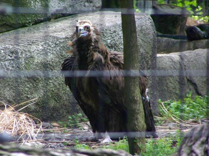 Vulture Stare Down