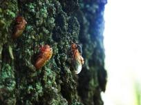 Cicada Trio