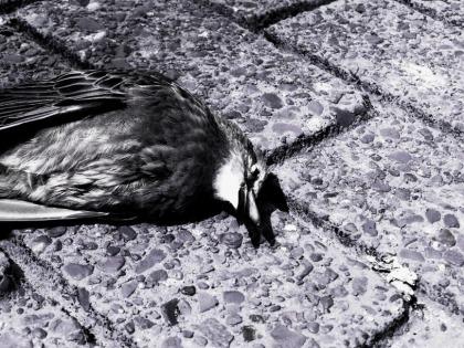 Dead Bird BW